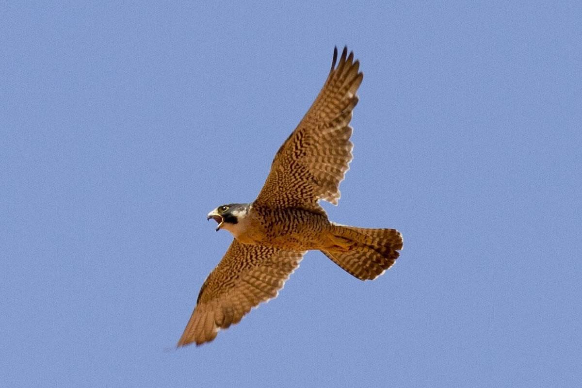 Peregrine Falcon. Image credit: skeeze.