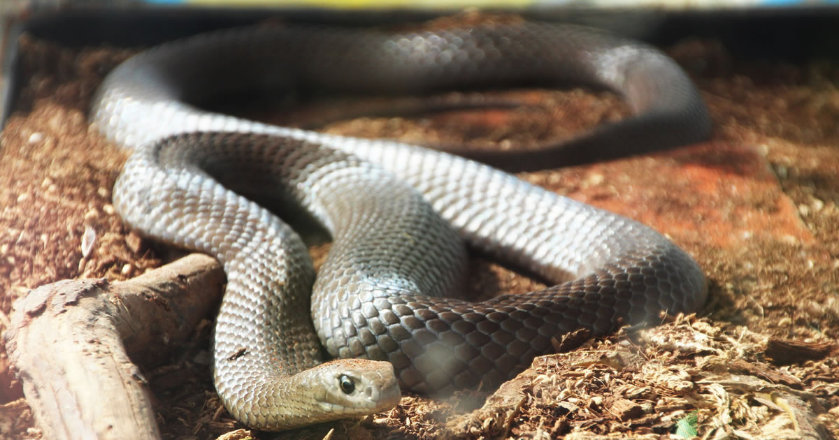 Eastern brown snake. Image credit: Takver.