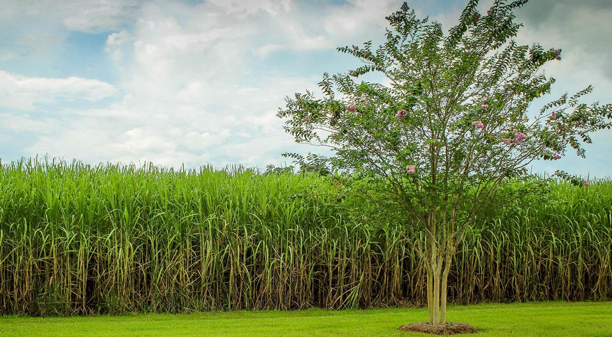 Sugarcane. Image credit: JamesDeMers.