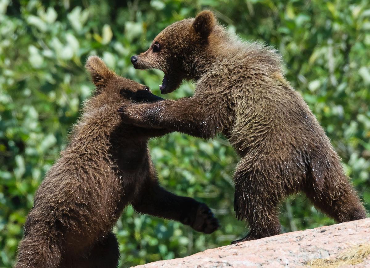 Wrestling bears. Image credit: Magnus Johansson.